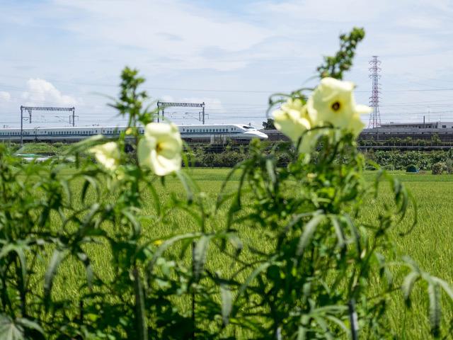 トロロアオイと新幹線