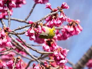 寒桜とメジロ10