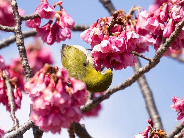 寒桜とメジロ16