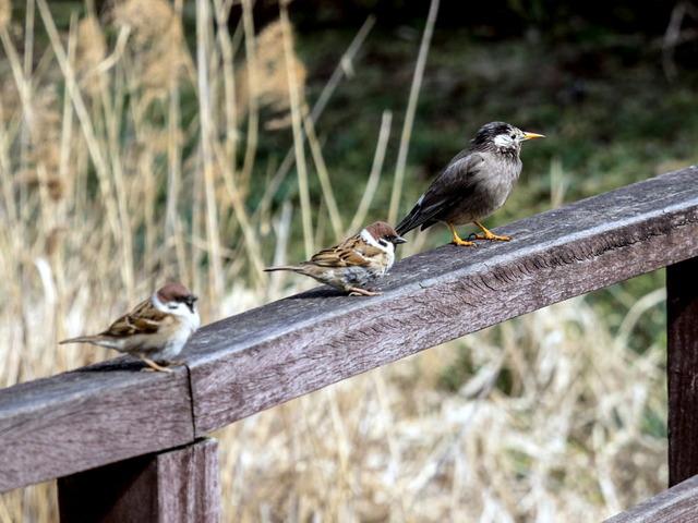 雀とムクドリ