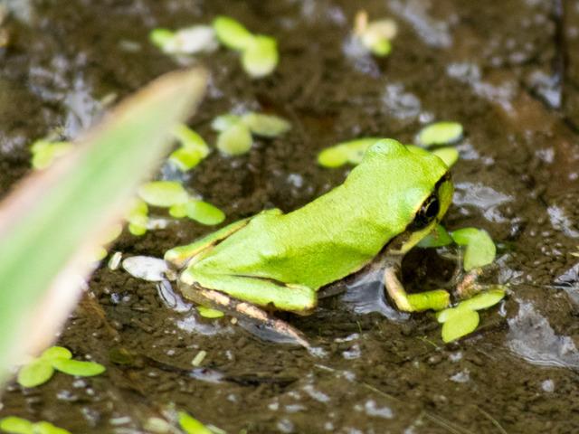 日本雨蛙62