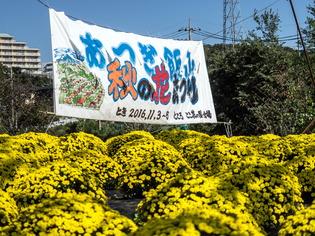 厚木飯山ざる菊4