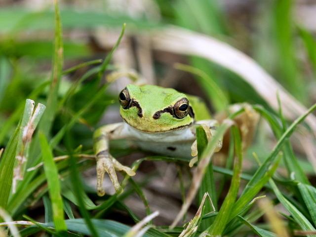 日本雨蛙57