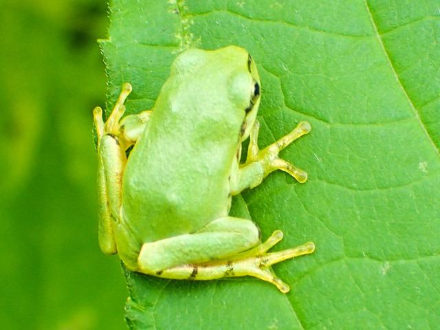 日本雨蛙29