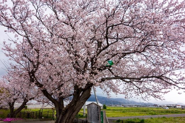古川の桜並木3