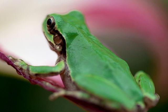 日本雨蛙79