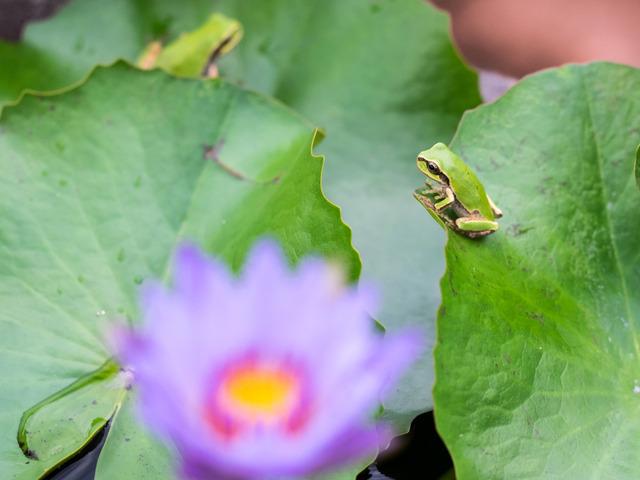 日本雨蛙14