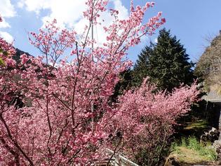 おかめ桜まつり12