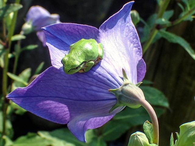 日本雨蛙64