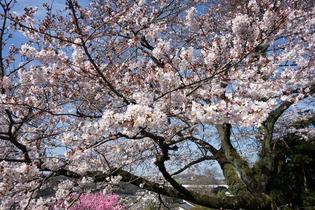 今泉名水桜公園10