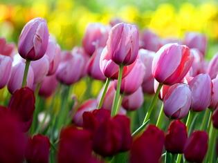YP・tulip13