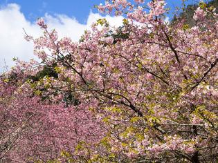 おかめ桜まつり14