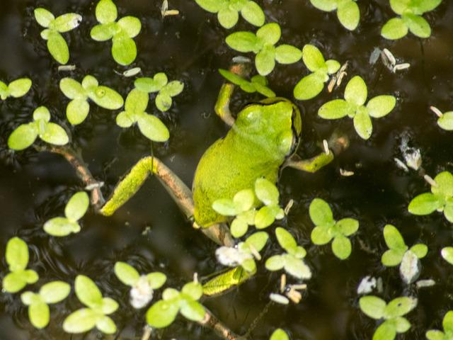 日本雨蛙39