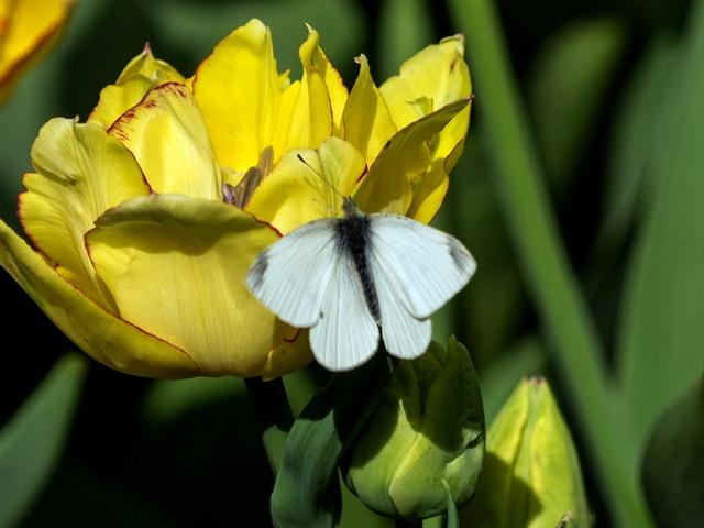 YP・tulip10