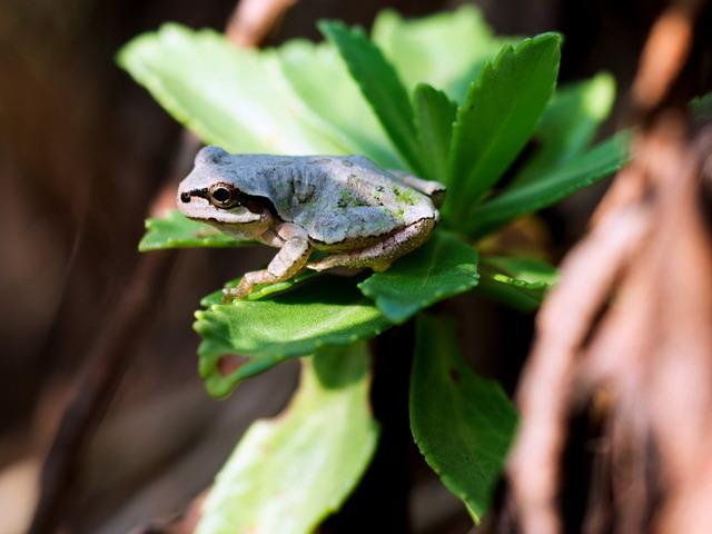 日本雨蛙55