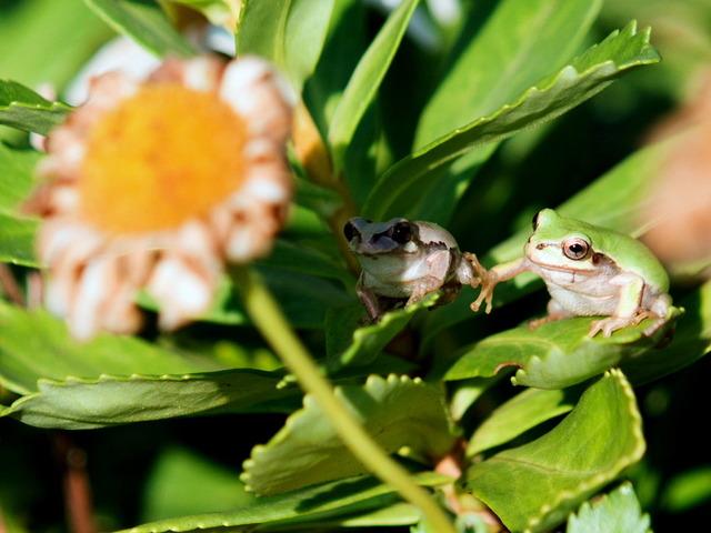 日本雨蛙34