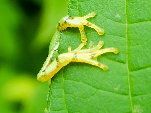 日本雨蛙10