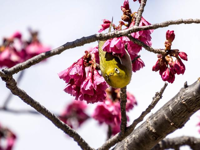 寒桜とメジロ15