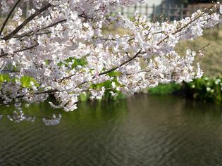 今泉名水桜公園4