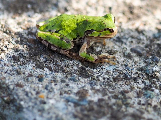 日本雨蛙8