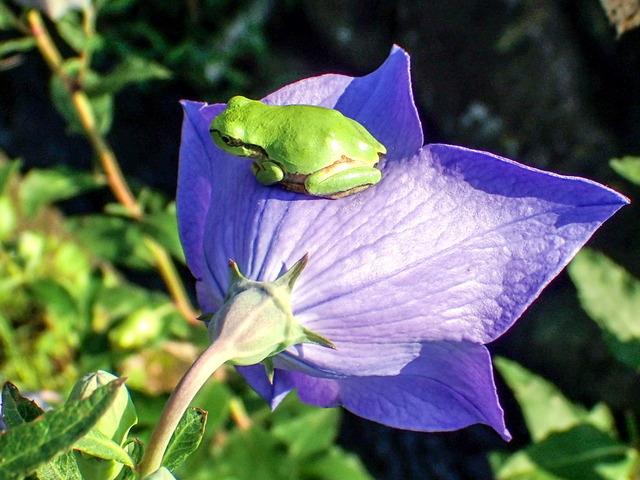 日本雨蛙56