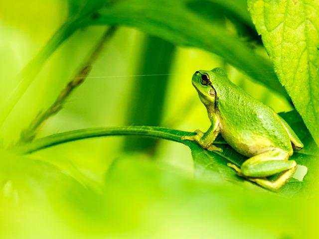 日本雨蛙32