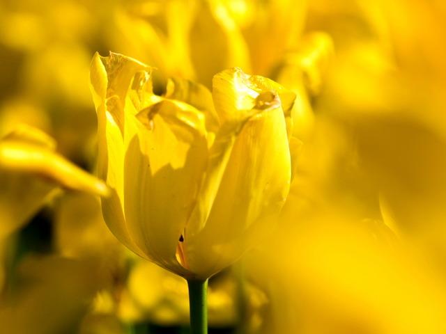 YP・tulip7