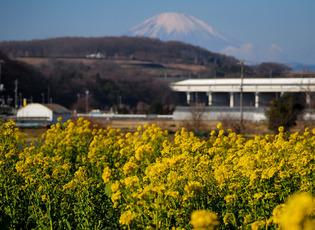 菜の花と富士山02