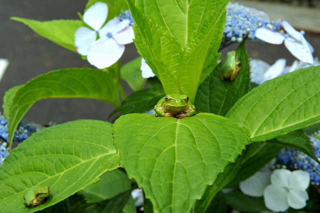 日本雨蛙24