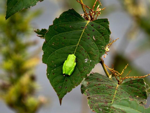 日本雨蛙44
