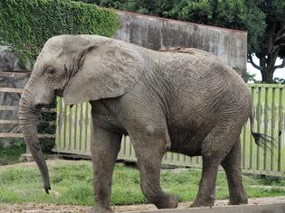 アフリカゾウ02