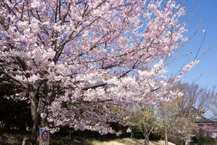 今泉名水桜公園7