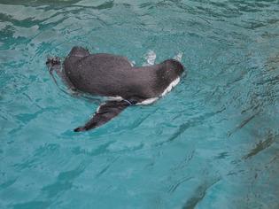 フンボルトペンギン03