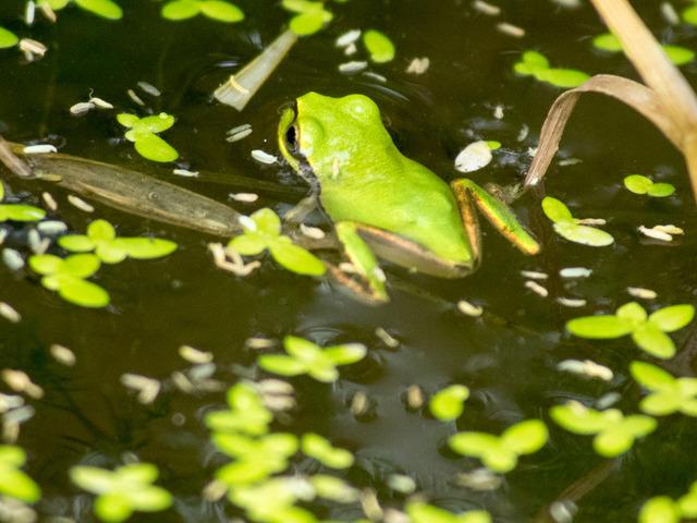 日本雨蛙68