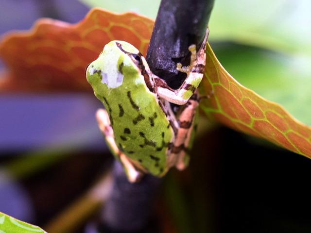 日本雨蛙22
