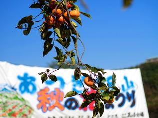 厚木飯山ざる菊1