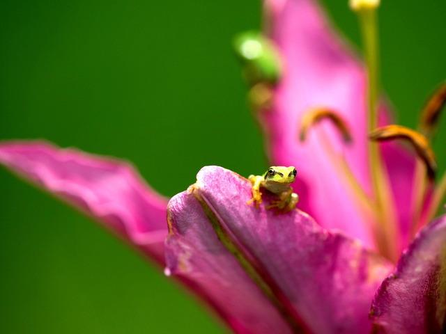 日本雨蛙74