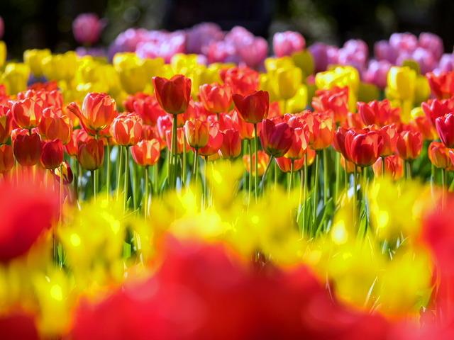 YP・tulip12