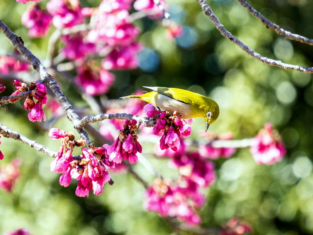 寒桜とメジロ2