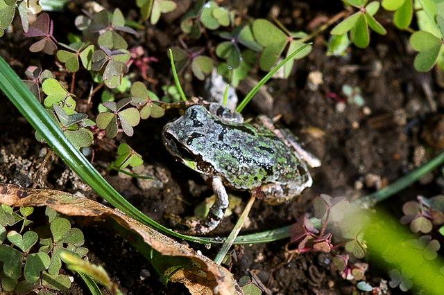 日本雨蛙83