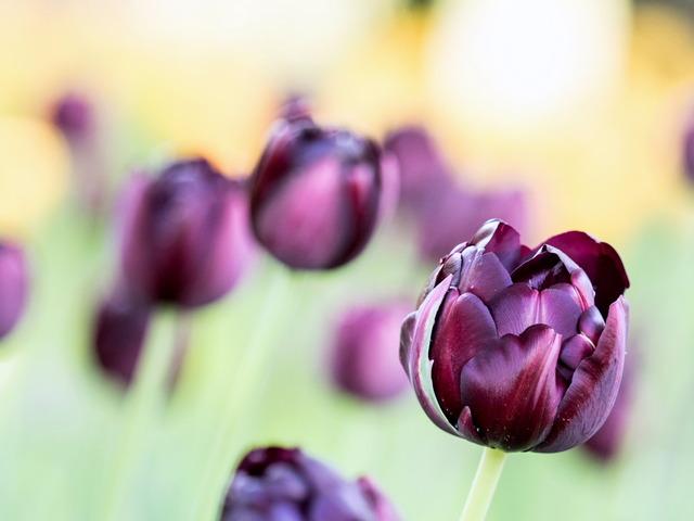 YP・tulip11