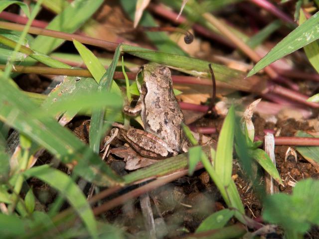 日本雨蛙33