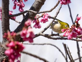 寒桜とメジロ5