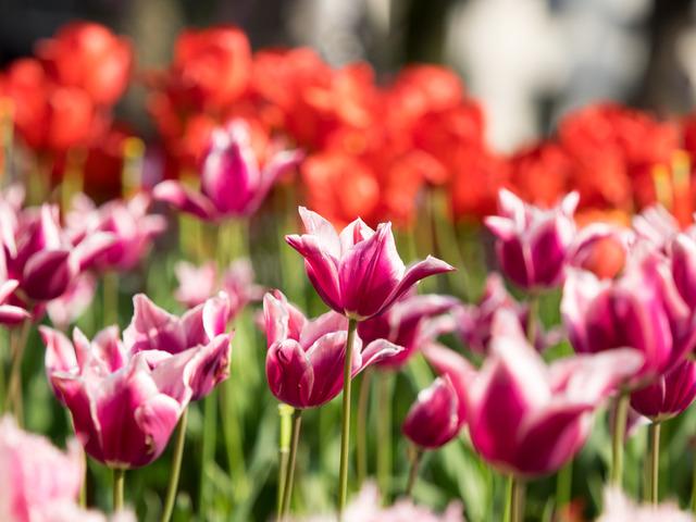 YP・tulip25