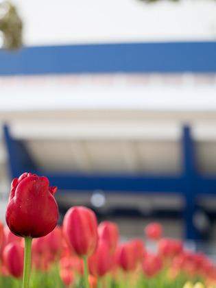 YP・tulip3