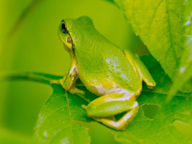 日本雨蛙53
