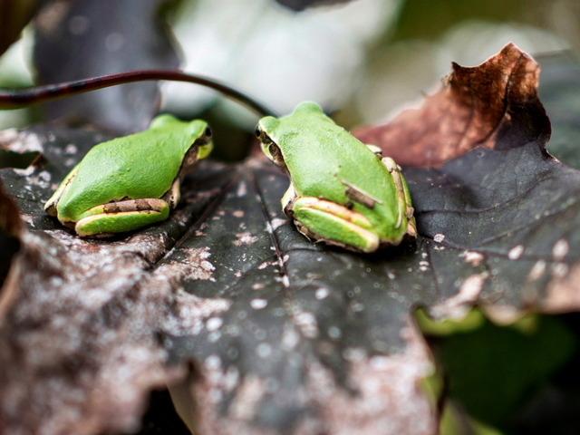 日本雨蛙81