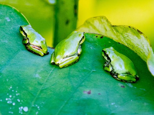 日本雨蛙49