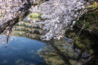 今泉名水桜公園9