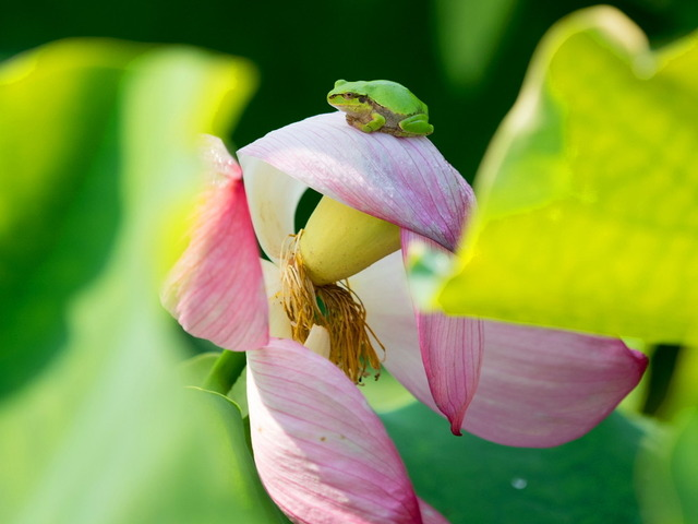 日本雨蛙46